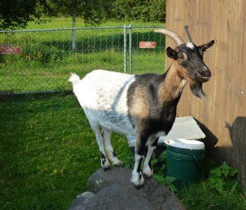 Die kleinen Gäste lieben unsere Ziegen!